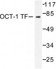 AP06254PU-N - POU2F1 / OCT1
