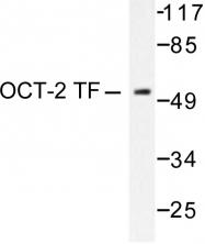 AP06255PU-N - POU2F2 / OCT2