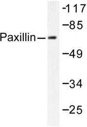 AP06280PU-N - Paxillin /  PXN