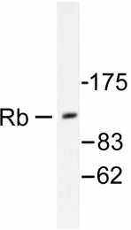 AP06303PU-N - Retinoblastoma-associated protein / RB1