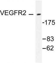 AP06362PU-N - CD309 / VEGFR-2 / Flk-1