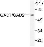 AP06389PU-N - GAD1 / GAD67