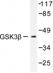 AP06391PU-N - GSK3 beta