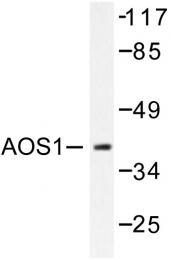 AP06444PU-N - SAE1 / AOS1