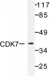 AP06446PU-N - CDK7