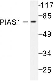 AP06452PU-N - PIAS1
