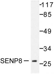 AP06462PU-N - SENP8