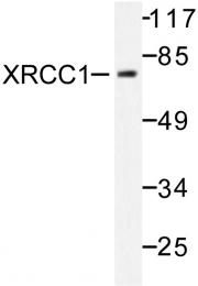 AP06480PU-N - XRCC1