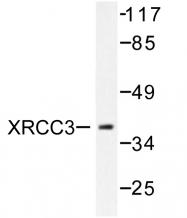 AP06482PU-N - XRCC3