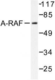 AP06495PU-N - ARAF