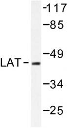 AP06532PU-N - LAT