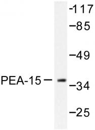 AP06559PU-N - PEA15
