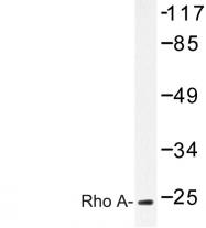 AP06618PU-N - RhoA