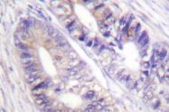 AP06623PU-N - 14-3-3 protein zeta/delta