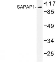 AP06632PU-N - DLGAP1 / SAPAP1