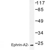 AP06639PU-N - Ephrin-A2