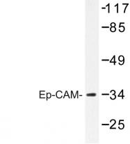 AP06671PU-N - CD326 / EPCAM / TACSTD1