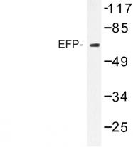 AP06732PU-N - TRIM25 / RNF147