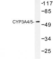 AP06777PU-N - CYP3A4