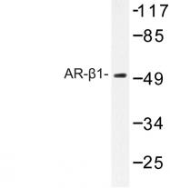 AP06789PU-N - Alpha-1B adrenergic receptor / ADRA1B