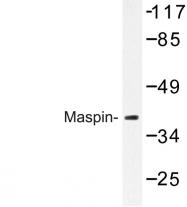 AP06801PU-N - SERPINB5 / Maspin