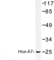 AP06805PU-N - HOXA7 / HOX1A