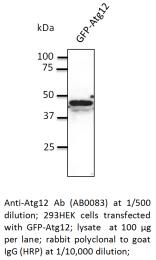 AB0083-200 - ATG12 / APG12