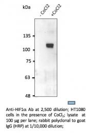 AB0112-200 - HIF1A / HIF1 alpha