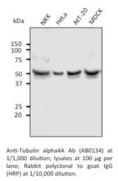 AB0134-200 - alpha Tubulin / TUBA4A / TUBA1