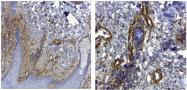 AF5910 - Collagen type IV