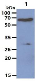 AM03184PU-N - Protein phosphatase 1B / PPM1B