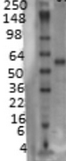 AM03220PU-N - SLC18A3 / VACHT