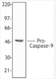 AM05287PU-S - Caspase-9