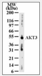 AM06001PU-N - AKT3 / PKB gamma