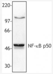 AM06029PU-M - NF-kB p105 / p50