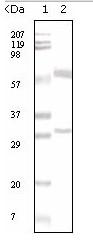 AM06108PU-N - Estrogen receptor alpha