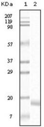 AM06128SU-N - Alpha-Synuclein / SNCA