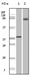 AM06152SU-N - B-Raf proto-oncogene