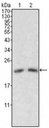 AM06157PU-N - Apolipoprotein M / Apo M