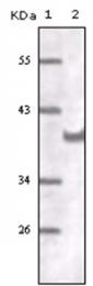 AM06169SU-N - CD31 / PECAM1