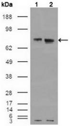 AM06176SU-N - Estrogen receptor alpha