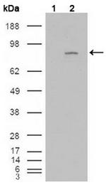 AM06181SU-N - CD334 / FGFR4