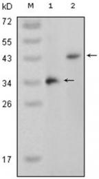 AM06199SU-N - MAP kinase p38 beta / MAPK11