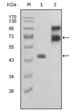 AM06219SU-N - Fibulin-2