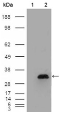 AM06220SU-N - Apolipoprotein A I / APO AI