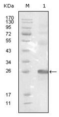 AM06222SU-N - EPHB3