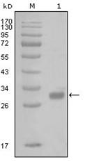 AM06270SU-N - Thrombin receptor / F2R