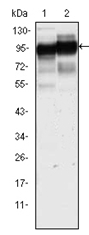 AM06286SU-N - CD44
