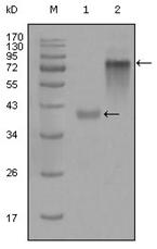 AM06287SU-N - Cytokeratin 19
