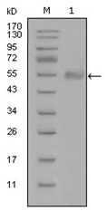AM06290SU-N - Synaptotagmin-1